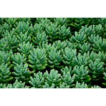 Sementes Suculenta Sedum Mix P/ Mudas Flor Cactus Cacto Rara