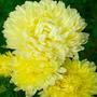 Sementes Da Flor Crisântemo Gigante!