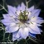 Sementes De Nigela Sortida Rarissima Flor #ebae