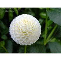 Sementes Dalia Dahlia Pompom Mix Cactus Flor Rosa P/ Mudas