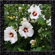 Hibisco Hibiscus Syriacus Branco Sementes Flor Para Mudas