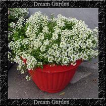 Alyssum Branco Flor De Mel Sementes Flor Para Mudas