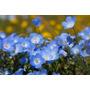 Nemophila Menziesii Baby Blue Eyes Sementes Flor Para Mudas