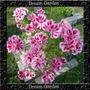Godetia Clarkia Amoena Anã Azalea Sementes Flor Pra Mudas