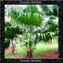 Palmeira Leque Prateada Sementes Para Muda Flor