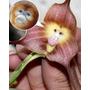 Orquidia Exótica Cara De Macaco Planta Flores Bonsai Rosa