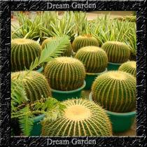 Cacto Bola - Echinocactus Grusonii Sementes Para Mudas