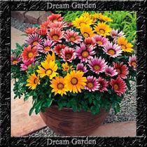 Gazânia Sortida Importada Env. Com 10 Sementes Flor