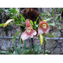 Orquídeas 100 Sementes Selecionadas-orquídea Cara De Macaco
