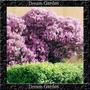 Lilac Early - Arbusto Perfumado Sementes Flor Pra Mudas