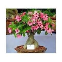 Rosa Do Deserto 50 Sementes Mista - Adenium Obesum Mix Cor