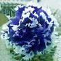 Sementes De Flor Petunia Dobrada Azul E Branca, Rara E Linda