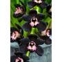 Orquídea Cymbidium Kiwi Negra - 12 Sementes Frete Grátis
