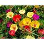1100 Sementes De Flor Onze Horas #11vs