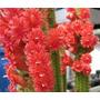 Sementes Cactus Flor Bolivicereus Samaipatanus Suculenta