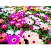 1000 Sementes Da Flor Ficóide Tapete Mágico #huem