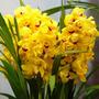 Sementes De Orquídea Cymbidium Amarela - 10 Sementes