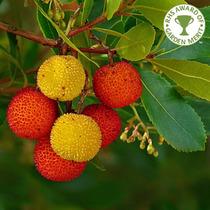 Sementes Árvore De Morango Medronheiro Arbustus Unedo Mudas