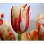 Sementes De Flor Tulipa - 15 Sementes