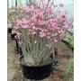Adenium Arabicum 4 Tipos 2 Sementes De Cada - Rosa Deserto