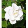 Muda Da Linda Flor Gardenia Arbustiva Super Perfumada