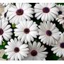 Margarida Do Cabo Branca Sementes Flor Para Mudas