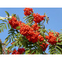 Sementes Fruta Cereja Tramazeira Sorbus Aucuparia P/ Mudas