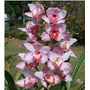 Muda Da Linda Orquidea Cymbidium Rosa