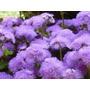 450 Sementes Da Flor Agerato Mexicano Azul #rtoh