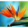 20 Sementes Ave Do Paraiso Strelitzia Jardim Bonsai