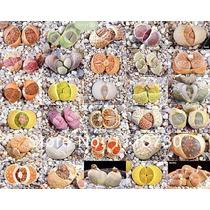 100 Sementes Cactos Lithops Pedra Viva Flor Mudas Rosa Cactu