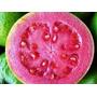 Sementes De Goiaba Vermelha Fruta De Pomar Para Passarinhos
