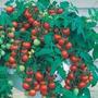 Semente Tomate Cereja Samambaia (20 Sementes) - Frete Grátis