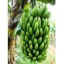 Banana Nanicão (nanica Gigante) Mudas (rizoma)