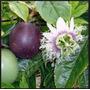 40 Sementes Odo Maracujá Passiflora Rubra + Frete Grátis