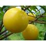 3 Sementes Do Raro Abiu Amarelo Super Doce - P/ Mudas