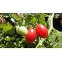 Sementes De Tomate Carolina Cereja + Frete Grátis