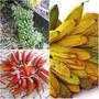 Super Bananas 3 Poderosas Nanicão Pão E Roxa 3 Rizomas Mudas