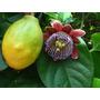 10 Sementes De Maracujá Doce - Passiflora Alata - Para Mudas