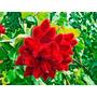 Muda De Urucum Vermelho- (bixa Orella) - Produz 7 Meses