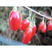Goji Berries Nq1 Mais Frutos Maiores E Mais Doces Sementes
