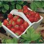 15 Sementes De Morango Vermelho + Frete R$5,00 C/ Rastreio