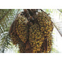 10 Sementes De Macaúba Do Cerrado (acrocomia Aculeata)