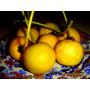 Sementes De Abricó Da Praia - Fruta Rara