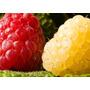 Raspberry Grande Framboesa Mix Cor Frete Gr 10 Sementes Vaso