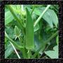 Quiabo Santa Cruz - Sementes Hortaliças Para Mudas