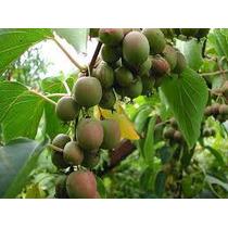 Mini Kiwi Escalador Trepadeira Fruta Bonsai Sementes P/mudas