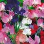 12 Sementes Da Flor Ervilha De Cheiro Frete Grátis #w147