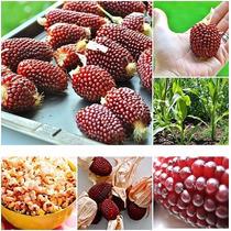 Milho Strawberry Popcorn Milho Morango - Sementes Para Mudas