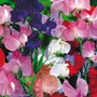 12 Sementes Da Flor Ervilha De Cheiro Frete Grátis #ip19